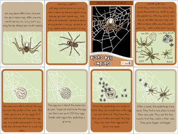 Spider life cycle mini book