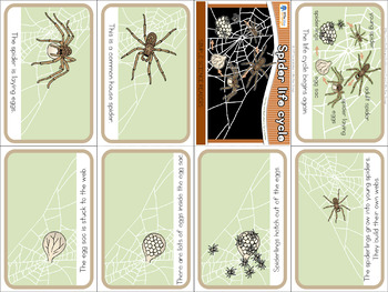 Spider life cycle mini book (simplified version)