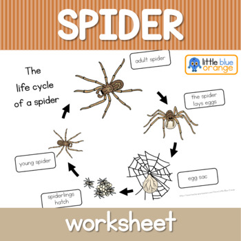 Spider Life Cycle Worksheet By Little Blue Orange Tpt