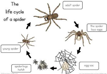 original 3443353 2 spider life cycle worksheet by little blue orange tpt