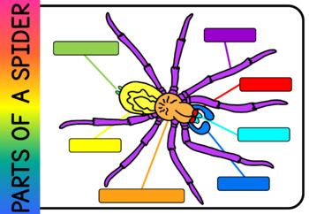 Spider parts of the body  worksheet