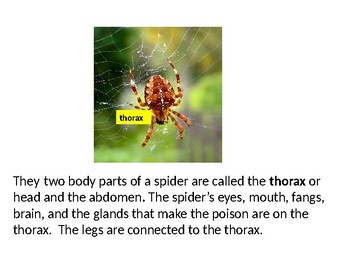 Spiders Power Point
