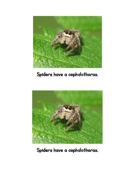 Spiders; an Emergent Reader and naming activity