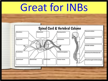 Spinal Cord & Vertebral Column - Big Foldable for Interactive Notebook or Binder