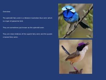 Splendid Fairy Wren - Bird Power point information pictures