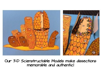 Sponge Paper Dissection - Scienstructable 3D Dissection Model
