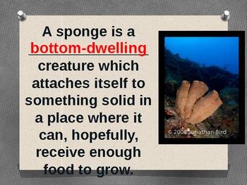 Sponges - Phylum Porifera Powerpoint