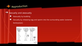 Sponges and Cnidarians Powerpoint