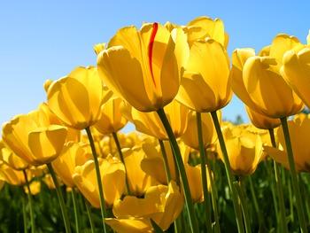 Keyboarding Puzzle: Spring Tulips