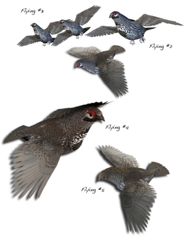 Spruce Grouse Pack #1