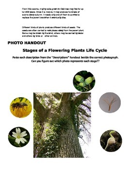 Stages in the Life Cycle of a Flowering Plant Activity!