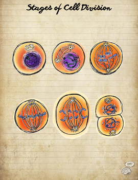 Stages of Cell Division- colorful visual aid