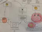 Star Life Cycle Worksheet