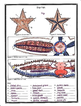 Starfish Anatomy and Simulated dissection Worksheet