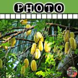 Starfruit Tree Photo