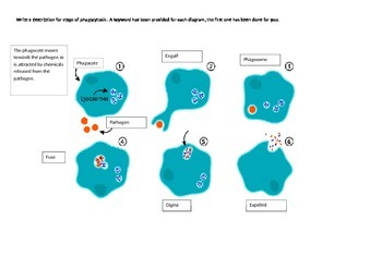 Step by step stages of phagocytosis