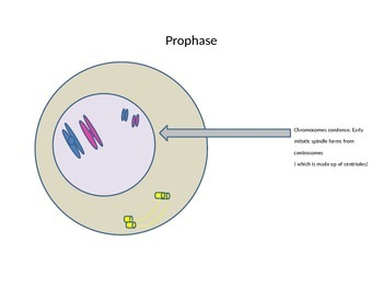 Steps of Mitosis PowerPoint