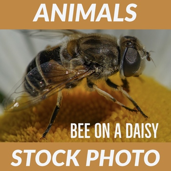 "Stock Photo ""Bee on a Daisy"" - Bee - Flower - Photograph"