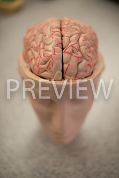 Stock Photo: Brain -Personal & Commercial Use