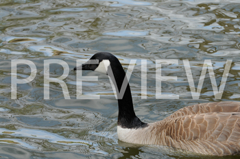 Stock Photo: Canadian Goose -Personal & Commercial