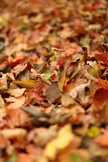 Stock Photo: Crunchy Fall Leaves