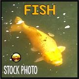 Stock Photo: GOLDFISH {Commercial Use}