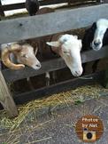 Stock Photo - Goats