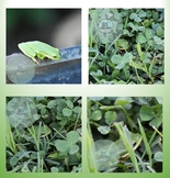 Stock Photo: Green Tree Frog Bundle