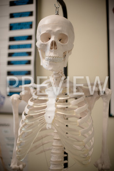 Stock Photo: Human Body Skeleton -Personal & Commercial Use