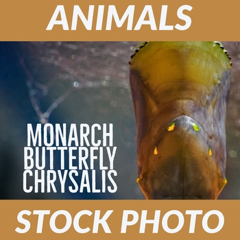 "Stock Photo - ""Monarch Butterfly Chrysalis"" - Pupa - Insect - Photograph"