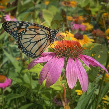Stock Photo - Monarch Butterfly on Coneflower - Butterfly - Insect - Photograph