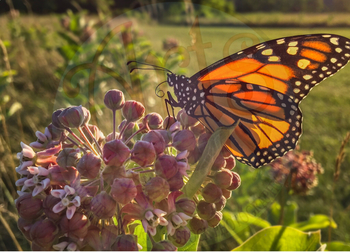 "Stock Photo - ""Monarch Butterfly on Milkweed "" - Butterfly - Insect - Photograph"