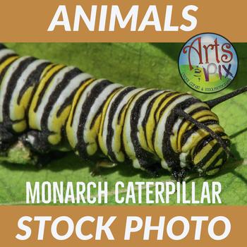 "Stock Photo - ""Monarch Caterpillar #2"" - Caterpillar - Insect - Photograph"