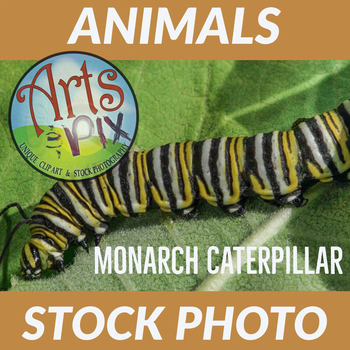 "Stock Photo - ""Monarch Caterpillar #3"" - Caterpillar - Insect - Photograph"