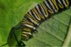 "Stock Photo - ""Monarch Caterpillar #4"" - Caterpillar - Insect - Photograph"