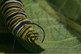 "Stock Photo - ""Monarch Caterpillar"" - Caterpillar  - Insect - Photograph"