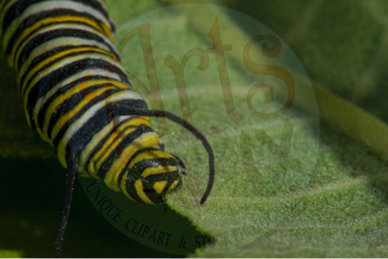 "Stock Photo - ""Monarch Caterpillar"" - Caterpillar  - Insect - Photograph"