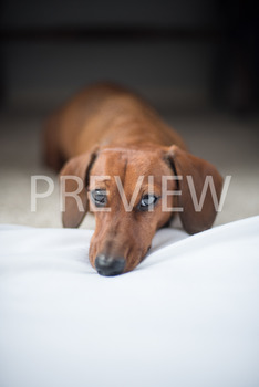 Stock Photo: Puppy Dog Eyes -Personal & Commercial Use