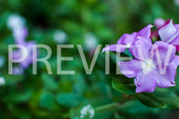 Stock Photo: Purple Flower -Personal & Commercial Use