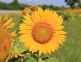 Stock Photo: Roadside Sunflower Sun Flower