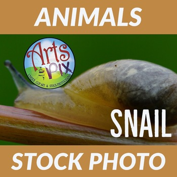 Stock Photo - SNAIL crawling on a Vine - Photograph - Nature