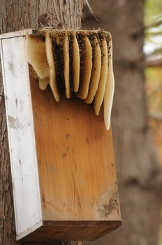 Stock Photo: Honeycomb (Bee's) -Personal & Commercial Use