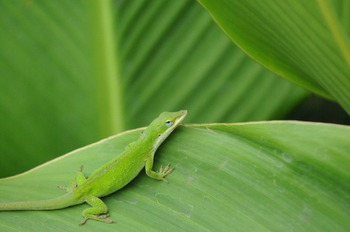 Stock Photo: Lizard -Personal & Commercial Use