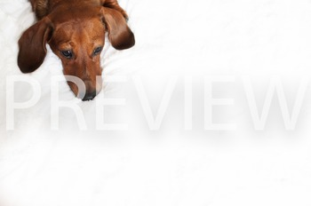 Stock Photo: Dog Waiting -Personal & Commercial Use