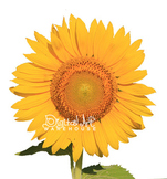 Stock Photo: Sunflower with Transparent Background