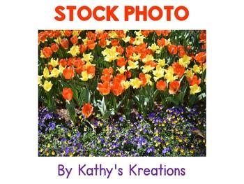 Stock Photo:  Tulips
