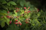 Stock Photo: Wild Blackberries