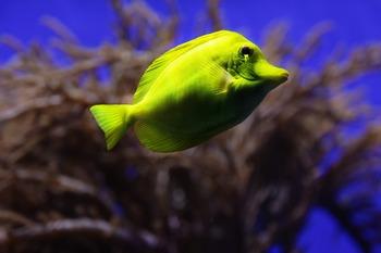 Stock Photo Yellow Tropical Fish