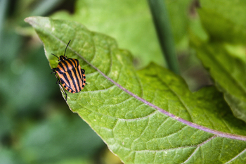 Stock Photography Black orange red striped stink bug Graphosoma lineatum
