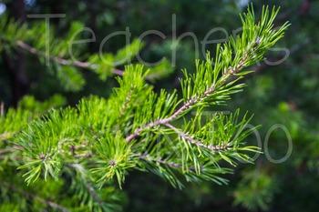 Stock Photos - Pine Tree #1
